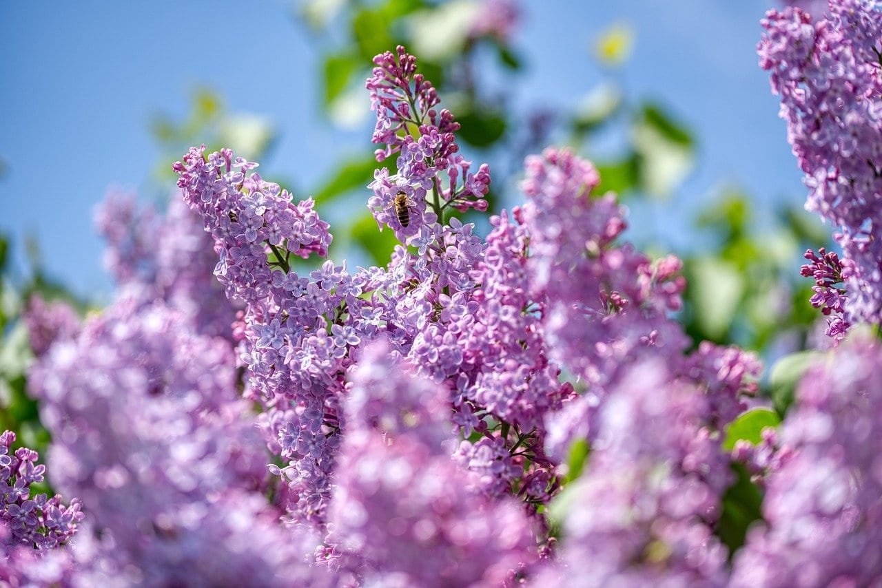 lilac, olive crop, purple