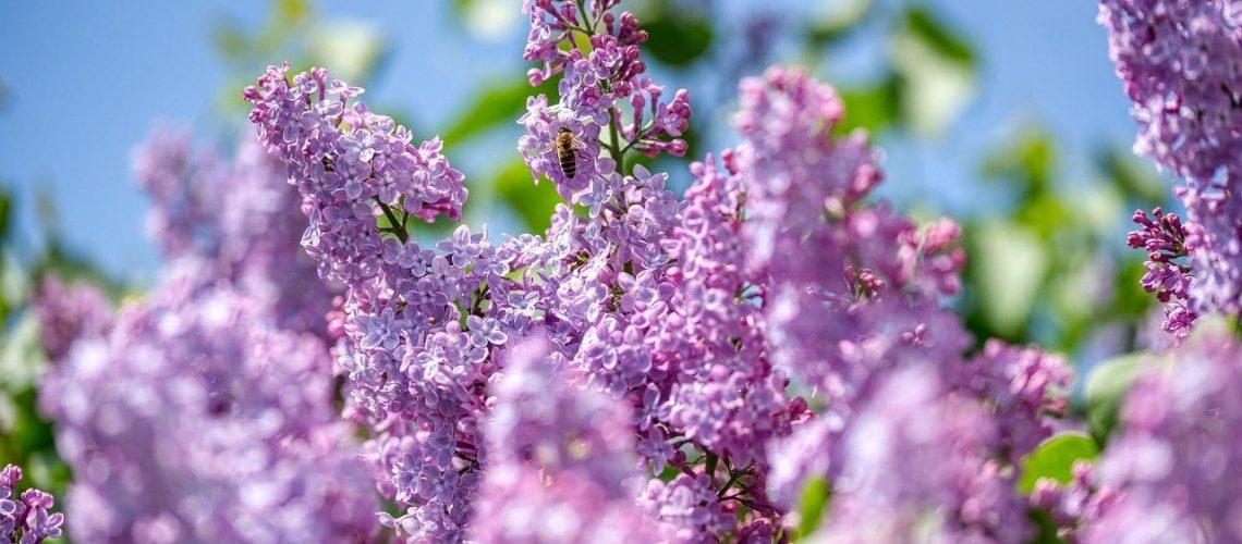 lilac, olive crop, purple